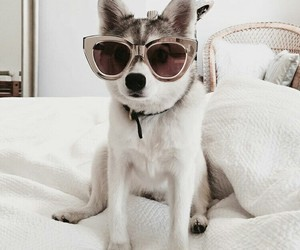 animals, sunglasses, and cute dogs image
