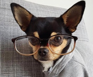 chihuahua, eyeglasses, and frame image