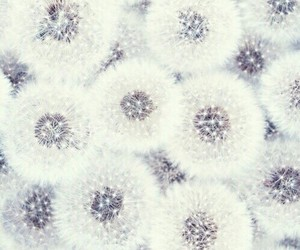 white, wallpaper, and dandelion image