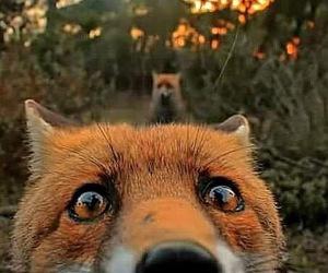 animal, fox, and beautiful image