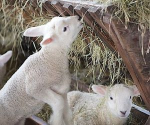 lamb and animals image