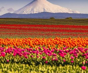 chile, flowers, and mountain image