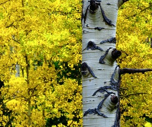 aspen, tree trunk, and yellow image