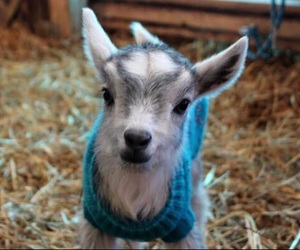 adorable, baby goat, and goat image