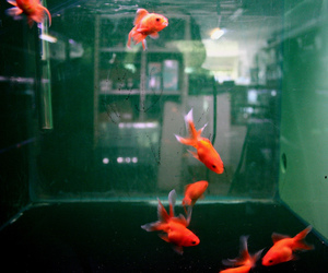 fish, orange, and alternative image