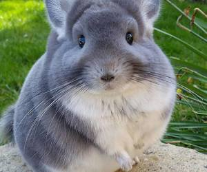 animal, Chinchilla, and fluffy image