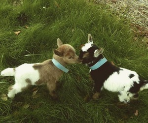 adorable, goat, and animal image