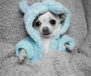 blue, chihuahua, and hoodie image