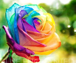 flowers, rainbow, and rose image