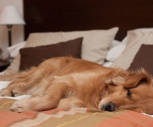 bed, dog, and golden image