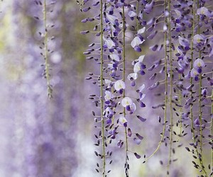 purple flowers, spring, and wisteria image