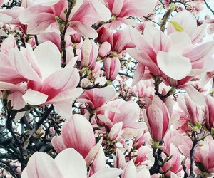 blossom, flowers, and magnolia image