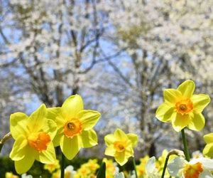 daffodils, flowers, and garden image