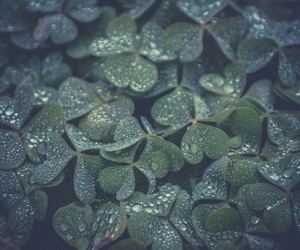 clovers, misty, and waterdrops image