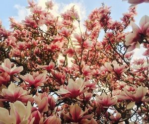 flower, magnolia, and pink image