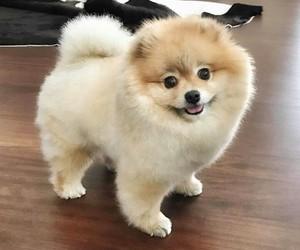 POM, pomeranian, and puppy image