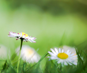 daisies, daisy, and nature image