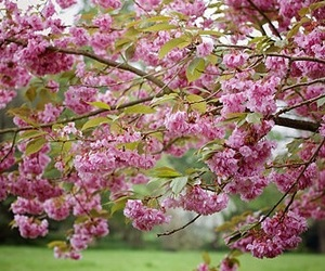 cherry blossom, nature, and pink image