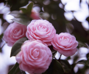 bokeh, botanic, and camellia image