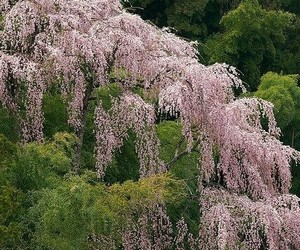 flowers, sakura, and spring image