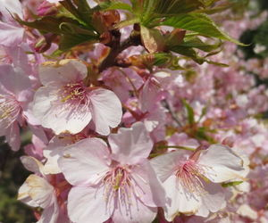 blossoms, pink, and plant image