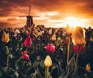 tulips, nature, and photography image