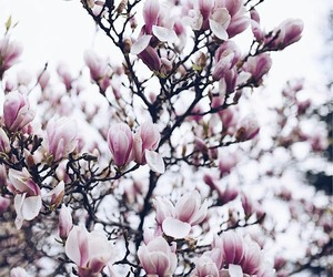 beauty, blossom, and magnolia image