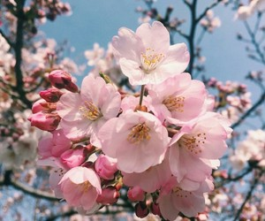 beautiful, cherry, and flowers image