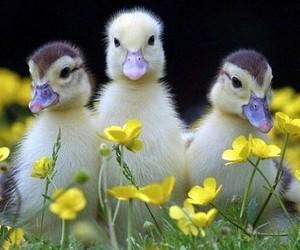 duck, duckling, and bird image