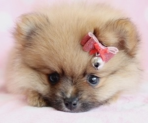 animals, dog, and teacup puppy image