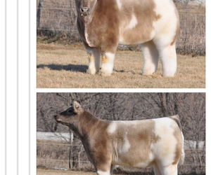 funny, tumblr, and cow image