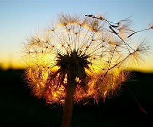 atardecer, dandelion, and dawn image