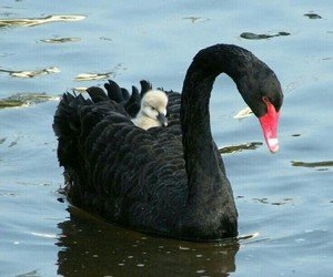Swan and black image