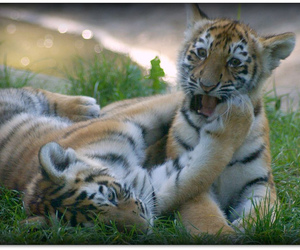 baby, cubs, and tiger image