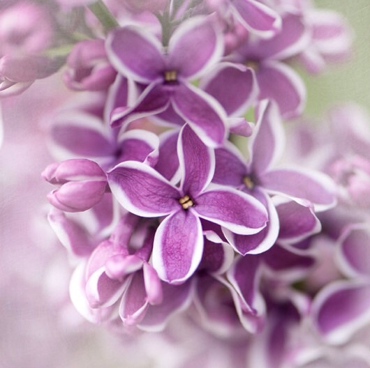 colors, flowers, and lilac image