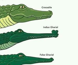 aligator, reptiles, and cocodrilo image