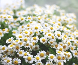 flowers, daisy, and white image