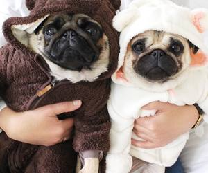 adorable, pug, and cozy image