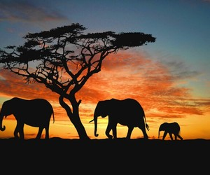 elephant, africa, and sunset image