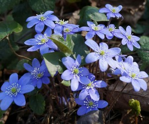 flowers, spring, and blueflowers image