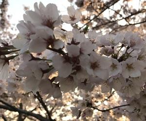 flower, japan, and sakura image