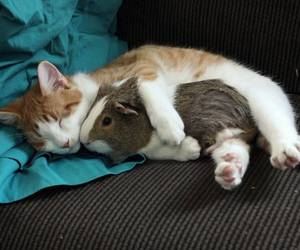 cat, animal, and guinea pig image