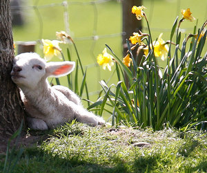 spring, lamb, and flowers image