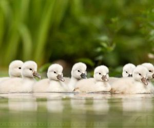 animal, duck, and duckling image
