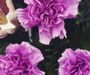 carnations, flowers, and purple image