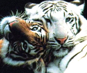 cute, nature, and tiger image