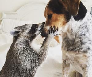 dog, animal, and raccoon image