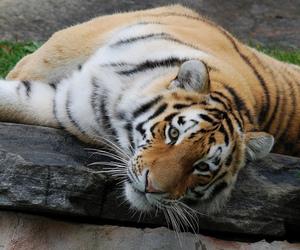 big cat, tiger, and impressedbeauty image