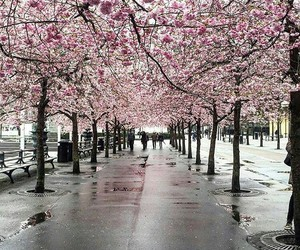 cherry blossoms, spring, and spring rain image
