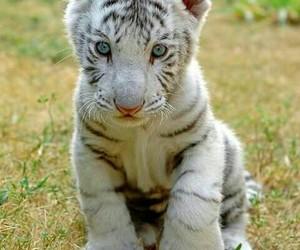 tiger, white, and animal image
